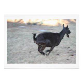 Black alpine goat doe running away to right invites