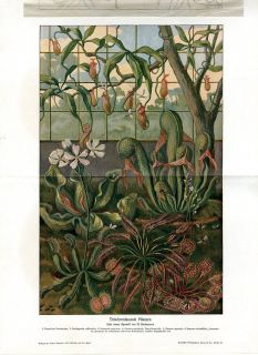 CARNIVOROUS PLANTS INSECT EATER PLANTS Antique Litho Print H.Kraemer