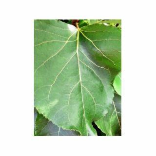 Big Green Leaf Acrylic Cut Outs