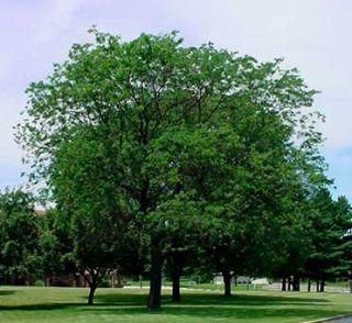 Beautiful Black Locust Tree Fresh Seed