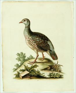 1748 Antique George Edwards Bird Print Partridge