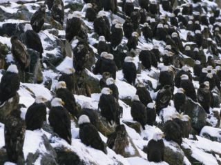 American Bald Eagles Gather on a Snow Covered Breakwater Photographic Print by Klaus Nigge