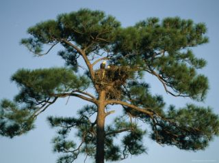 Pair of American Bald Eagles Sitting in Their Nest in a Pine Tree Photographic Print by Klaus Nigge