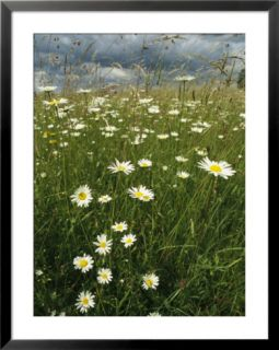 Field Filled with Daisies and Tall Grasses Pre made Frame
