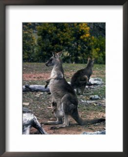 Two Kangaroos, One with a Joey in Its Pouch, Australia Pre made Frame