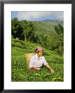 Woman Tea Picking, Goomtee Tea Estate, Kurseong, West Bengal, India Pre made Frame