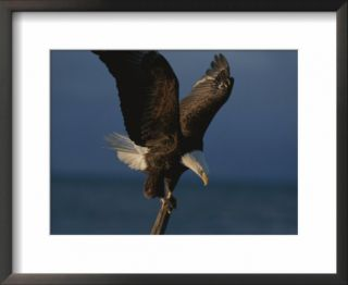 A northern American bald eagle lands on a piece of driftwood Pre made Frame