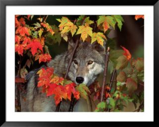 Gray wolf peeking through leaves Pre made Frame