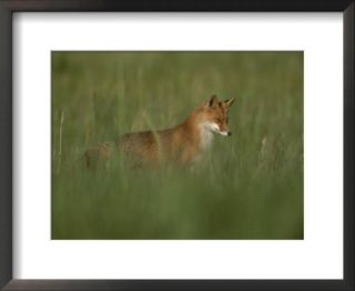 A red fox hunting in tall grass Pre made Frame