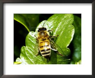 Honey Bee, Apis Mellifera Pre made Frame