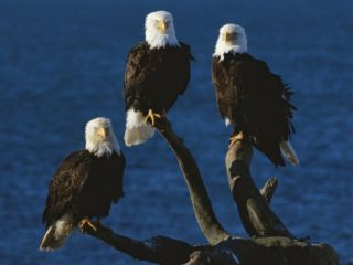 A Trio of American Bald Eagles Perched on Dead Tree Branches Photographic Print by Paul Nicklen