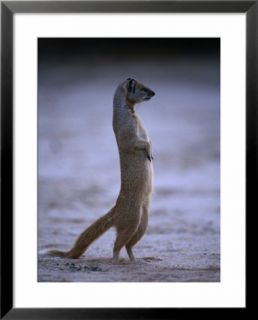 Yellow Mongoose, or Meerkat Standing on Its Hind Legs, Kgalagadi Transfrontier Park, South Africa Pre made Frame
