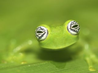 Ghost Glass Frog, Costa Rica Premium Poster by Edwin Giesbers