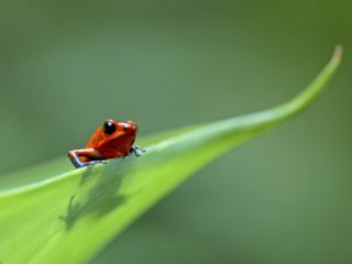 Strawberry Poison Dart Arrow Frog on Leaf, Costa Rica Premium Poster by Edwin Giesbers