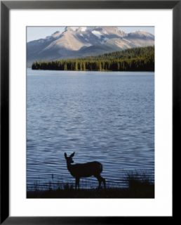 Mule deer standing on the edge of Maligne Lake Pre made Frame