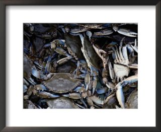 Close up of blue crabs caught in a crab pot Pre made Frame