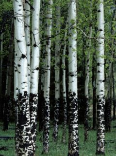 Aspen Tree Trunks, Rocky Mountain National Park, Colorado Usa Photographic Print by Jeff Foott