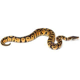 Fancy Ball Python   Reptile   Live Pet