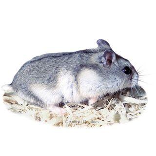 Russian Dwarf Hamsters   Small Pet   Live Pet