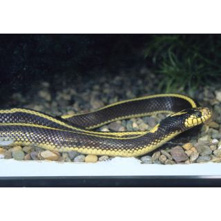Striped California King Snake   Reptile   Live Pet