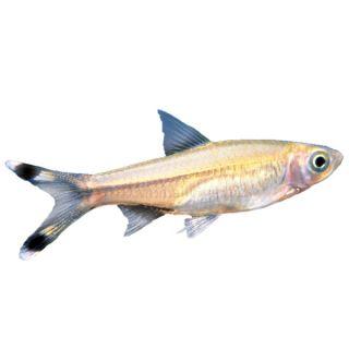 Scissortail Rasbora   Tropical   Fish