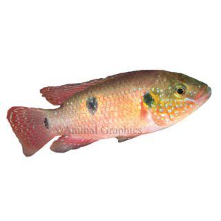 Jewel Cichlid   Fish   Live Pet