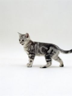 Domestic Cat, 12 Week Silver Tabby Male Kitten Poster by Jane Burton