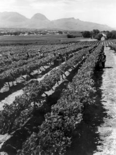 Workers Picking Grapes in Vineyard, Paarl, South Africa, June 1955 Photographic Print