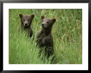 Two grizzly bear cubs in tall grass in Katmai National Park Posters by Michael Melford