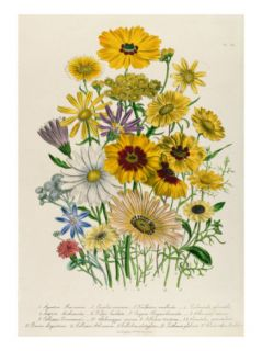 Daisies, Plate 31 from The Ladies Flower Garden, Published 1842 Giclee Print by Jane Loudon