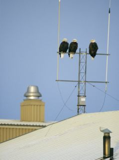 A Trio of American Bald Eagles Perch on an Antenna Photographic Print by Klaus Nigge