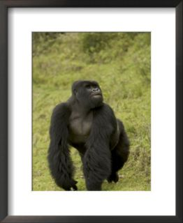 Male Mountain Gorilla (Gorilla Gorilla Beringei) Standing in Grass Art by Roy Toft