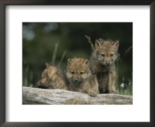 A Trio of Captive Wolf Pups Stand Behind a Fallen Tree Trunk Prints by Tom Murphy