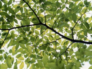 Backlit Green Tree Branch Photographic Print
