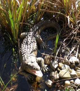 Krokodil Alligator L 52cm super Deko Figur Garten Teich
