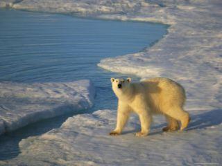 A Polar Bear Walks he Pack Ice under he Midnigh Sun Phoographic Prin by Ralph Lee Hopkins