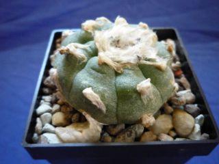 14) Kaktus / Kakteen Ariocarpus lewinii L.W. San Pedro
