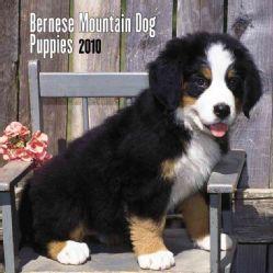 Bernese Mountain Dog Puppies 7x7 2010 Calendar