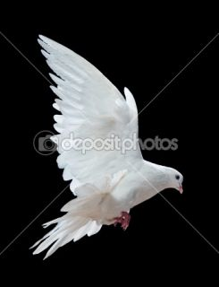 free flying white dove  Stock Photo © Irina Tischenko #1337272